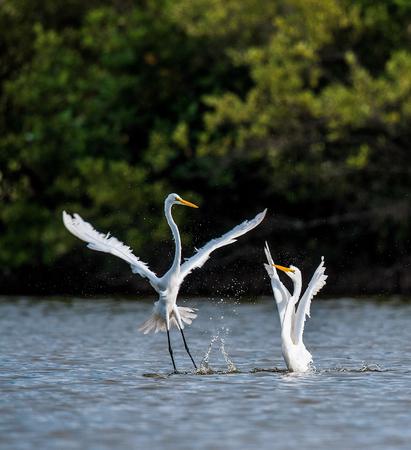 egrets: The fighting great egrets ( Ardea alba ).