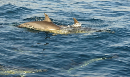warm water fish: Group of dolphins, swimming in the ocean and hunting for fish. The jumping dolphin. The Long-beaked common dolphin scientific name: Delphinus capensis swim in atlantic ocean. South Africa