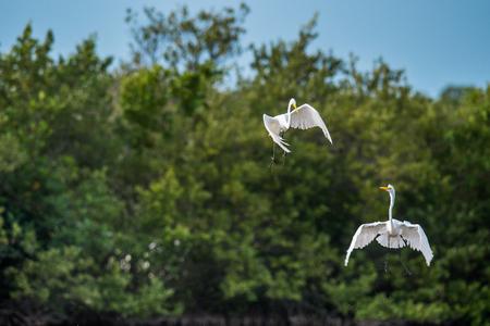 egrets: The fighting great egrets ( Ardea alba ). Natural green background. Cuba Stock Photo