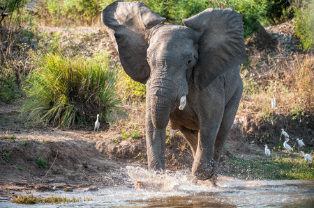Have angered. Running African savanna elephant (The African bush elephant ( Loxodonta africana) on The river Zambezi. Zambia. Africa