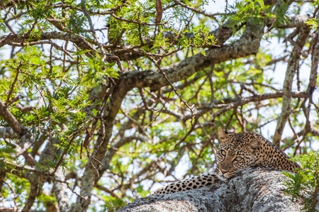 Leopard on a tree. The leopard hides from solar hot beams on a tree. The leopard (Panthera pardus) is one of the five big cats in the genus Panthera.
