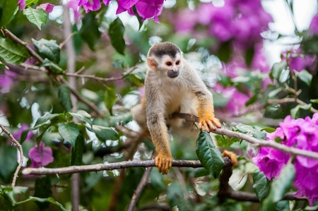 sciureus: The squirrel monkey and pink flowers. The squirrel monkey saimiri sits in a magnificent environment of colors. The common squirrel monkey (Saimiri sciureus) is a small New World monkey Stock Photo