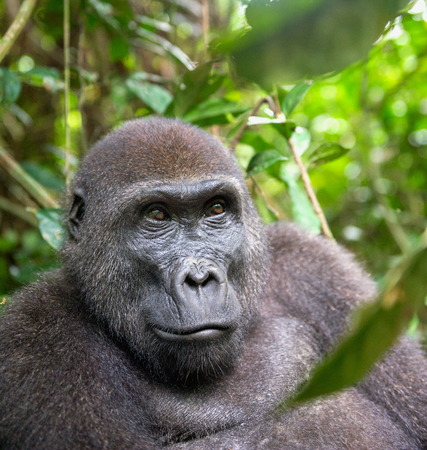 western lowland gorilla: Portrait of a western lowland gorilla (Gorilla gorilla gorilla) close up at a short distance. adult female of a gorilla in a natural habitat. Jungle of the Central African Republic Stock Photo