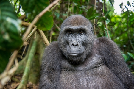 lowland: Portrait of a western lowland gorilla (Gorilla gorilla gorilla) close up at a short distance. adult female of a gorilla in a natural habitat. Jungle of the Central African Republic Stock Photo