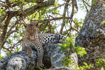 big five: Leopard on a tree. The leopard hides from solar hot beams on a tree. The leopard (Panthera pardus) is one of the five big cats in the genus Panthera.