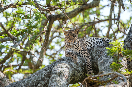spoted: Leopard on a tree. The leopard hides from solar hot beams on a tree. The leopard (Panthera pardus) is one of the five big cats in the genus Panthera.