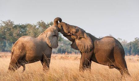 battle: Fighting African elephants in the savannah. African national park. African savanna elephant African bush elephant, Loxodonta africana