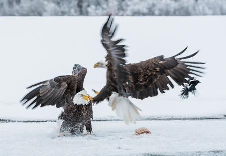 haliaeetus leucocephalus: Bald Eagles (HALIAEETUS LEUCOCEPHALUS) fly up from snow and fighting. Alaska