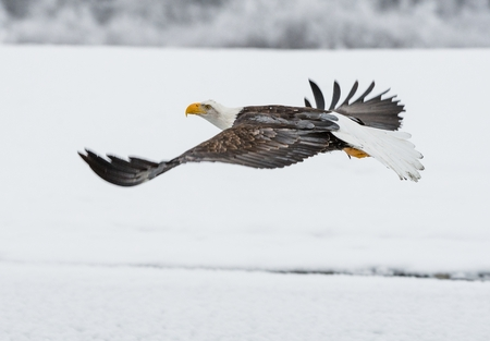 haliaeetus leucocephalus: Bald Eagle ( Haliaeetus leucocephalus washingtoniensis ) fly up from snow. Alaska