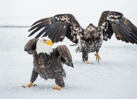 leucocephalus: Bald Eagles (HALIAEETUS LEUCOCEPHALUS) fly up from snow and fighting. Alaska