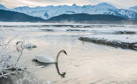 The tundra swans (Cygnus columbianus) swim in the freezing river. In the winter. Alaska, USA