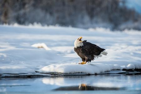 white salmon river: Shouting Bald Eagle on snow. The shouting Ba;d Eagle sits on snow to river Chilkat.. Winter Alaska