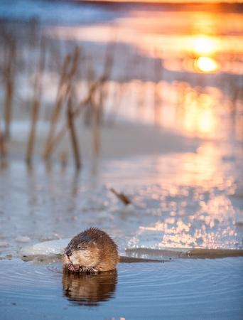 edge of the ice: Muskrat (Ondatra Zibethica) on an ice edge. The muskrat sits on an ice edge on a sunset. Autumn. Sunset at Ladoga Lake Stock Photo