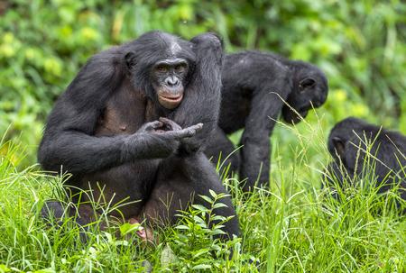 pan paniscus: Bonobos (Pan Paniscus) on green natural background. Democratic Republic of Congo. Africa Stock Photo