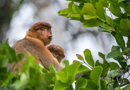 sandakan: A female proboscis monkey (Nasalis larvatus) with a cub in a native habitat.  Long-nosed monkey, known as the bekantan in Indonesia.  Endemic to the southeast Asian island of Borneo. Indonesia