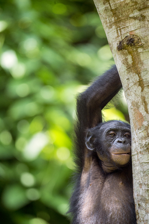 pan paniscus: Bonobo (Pan Paniscus) on a tree branch. Green natural jungle background. Democratic Republic of Congo. Africa