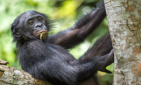 pan paniscus: The portrait of  juvenile Bonobo on the tree in natural habitat. Green natural background. The Bonobo ( Pan paniscus), called the pygmy chimpanzee. Democratic Republic of Congo. Africa