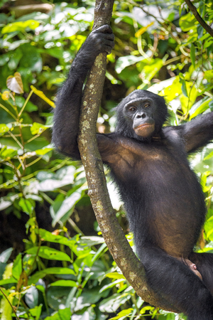 pan paniscus: Bonobos (Pan Paniscus) on a tree branch. Green natural jungle background. Democratic Republic of Congo. Africa