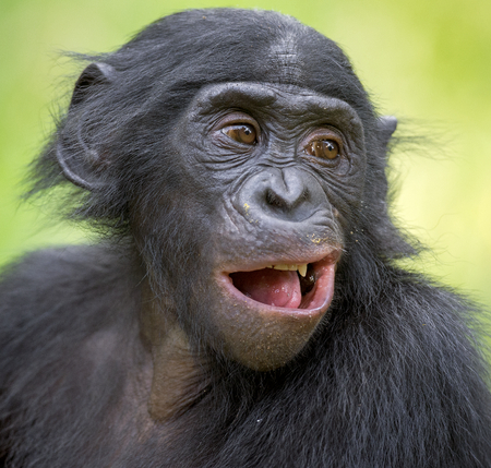 pan paniscus: The close up portrait of Bonobo (Pan Paniscus) on the green natural background. Democratic Republic of Congo. Africa