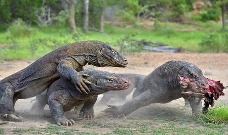 komodo island: The Komodo dragon dragons fight for prey. The Komodo dragon, Varanus komodoensis, is the biggest living lizard in the world. On island Rinca. Indonesia.