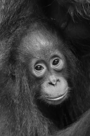 hominid: The close up portrait of cub f of the orangutan  on the dark background. Black and white photo. Rainforest of Borneo, Indonesia. Stock Photo