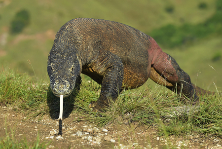 forked tail: Portrait of the Komodo dragon (Varanus komodoensis) is the biggest living lizard in the world. On island Rinca. Indonesia.