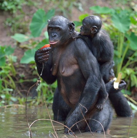 pan paniscus: Bonobo standing on her legs in water with a cub on a back.  The Bonobo ( Pan paniscus). Democratic Republic of Congo. Africa