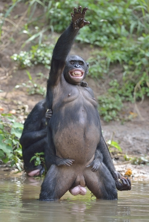pan paniscus: Bonobo standing on her legs in water with a cub on a back standing  and hand up. The Bonobo ( Pan paniscus). Democratic Republic of Congo. Africa