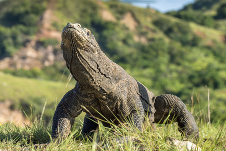 forked tail: Portrait of the Komodo dragon ( Varanus komodoensis ) is the biggest living lizard in the world.  On island Rinca. Indonesia. Stock Photo