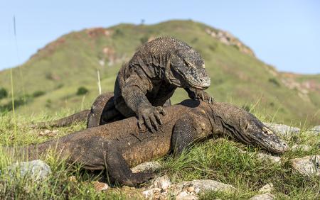 domination: Los dragones de Komodo que luchan para la dominaci�n. El drag�n de Komodo (Varanus), tambi�n conocido como el monitor de Komodo, es el lagarto m�s grande de estar en el mundo, Indonesia.