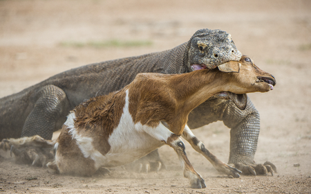 merciless: The dragon attacks. The Komodo dragon attacks the prey. The Komodo dragon, Varanus komodoensis, is the biggest living lizard in the world.On island Rinca. Indonesia. Stock Photo