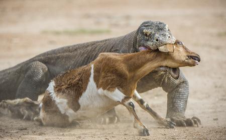 komodo island: The dragon attacks. The Komodo dragon attacks the prey. The Komodo dragon, Varanus komodoensis, is the biggest living lizard in the world.On island Rinca. Indonesia. Stock Photo