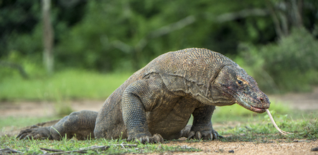 merciless: Komodo dragon with the flicked out tongue. The Komodo dragon ( Varanus komodoensis ) is the biggest living lizard in the world. On island Rinca. Indonesia.