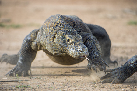 merciless: Attack of a Komodo dragon. The dragon running on sand. The Running Komodo dragon ( Varanus komodoensis ) .  Is the biggest living lizard in the world.  On island Rinca. Indonesia.