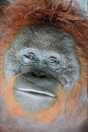 adult indonesia: Orangutan Portrait. A close up portrait of the orangutan. Close up at a short distance. Bornean orangutan (Pongo pygmaeus) in the wild nature. Island Borneo. Indonesia. Stock Photo