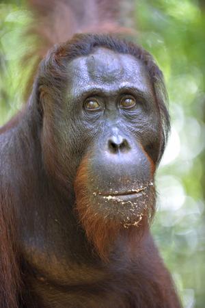 hominid: Orangutan Portrait. A close up portrait of the orangutan. Close up at a short distance. Bornean orangutan (Pongo pygmaeus) in the wild nature. Island Borneo. Indonesia. Stock Photo
