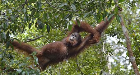 hominid: Relaxing orangutan in tree branches. Bornean orangutan (Pongo pygmaeus wurmmbii) in the wild nature. Rainforest of Island Borneo. Indonesia.