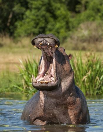 hippopotamus: El bostezo de hipopótamo común en el agua. El hipopótamo común (Hippopotamus amphibius), o el hipopótamo. África