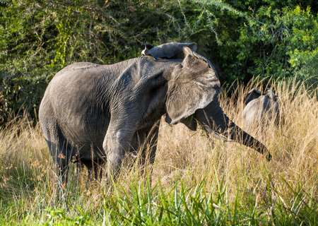 loxodonta africana: Big African elephant (Loxodonta Africana) shakes his head in anger. Africa. Stock Photo