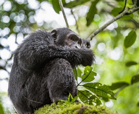 adult kenya: Close up portrait of chimpanzee ( Pan troglodytes ) resting on the tree in the jungle. Kibale forest in Uganda