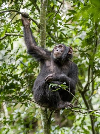 simia troglodytes: Close up portrait of chimpanzee ( Pan troglodytes ) resting on the tree in the jungle. Kibale forest in Uganda