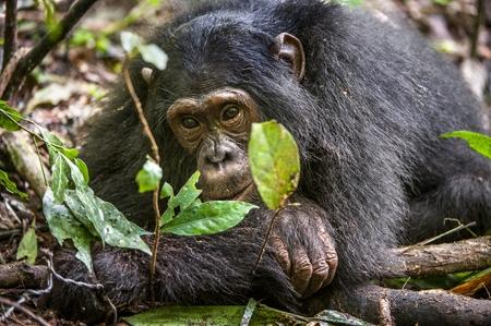 simia troglodytes: Close up portrait of chimpanzee ( Pan troglodytes ) resting in the jungle. Natural habitat. Kibale forest in Uganda