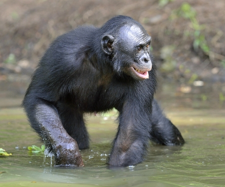 pan paniscus: Bonobo standing in water looks for the fruit which fell in water. Bonobo ( Pan paniscus ). Democratic Republic of Congo. Africa Stock Photo