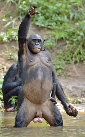 pan paniscus: Bonobo standing on her legs with a cub on a back and hand up. The Bonobo ( Pan paniscus). Democratic Republic of Congo. Africa