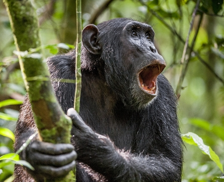 pan tropical: Shouting a Angry Chimpanzee. The chimpanzee (Pan troglodytes) shouts in rain forest, giving signs to the relatives. Uganda. Africa