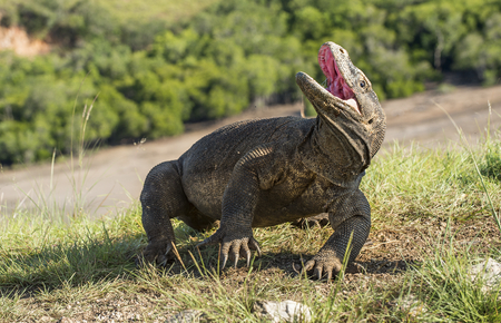 forked tail: Komodo dragon raised the head and opened a mouth. The Komodo dragon ( Varanus komodoensis ) is the biggest living lizard in the world.  On island Rinca. Indonesia.