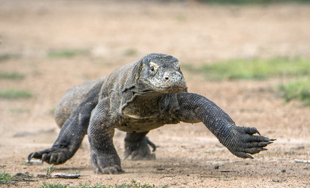 forked tail: Attack of a Komodo dragon. The dragon running on sand. The Running Komodo dragon ( Varanus komodoensis ) .  Is the biggest living lizard in the world.  On island Rinca. Indonesia.