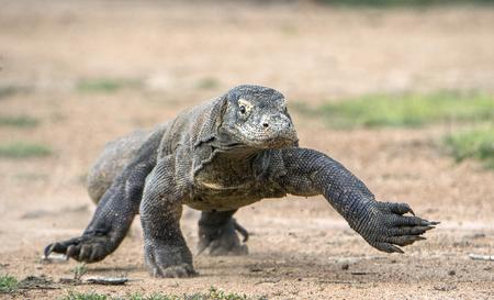 komodo island: Attack of a Komodo dragon. The dragon running on sand. The Running Komodo dragon ( Varanus komodoensis ) .  Is the biggest living lizard in the world.  On island Rinca. Indonesia.