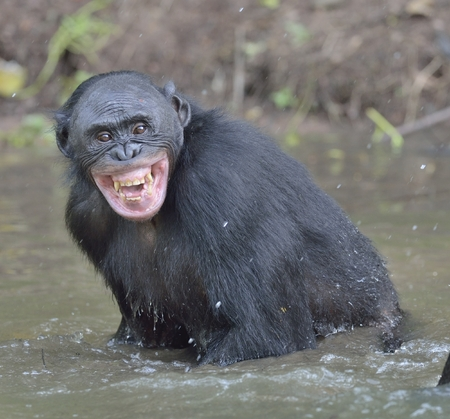 blissfully: Bonobo standing in water looks for the fruit which fell in water. Bonobo ( Pan paniscus ). Democratic Republic of Congo. Africa Stock Photo