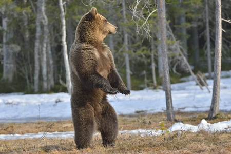 standing up: Brown bear (Ursus arctos) standing on his hind legs on a bog in the spring forest.